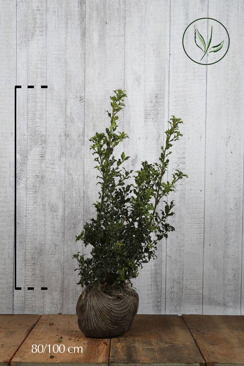 Järnek Klump 80-100 cm