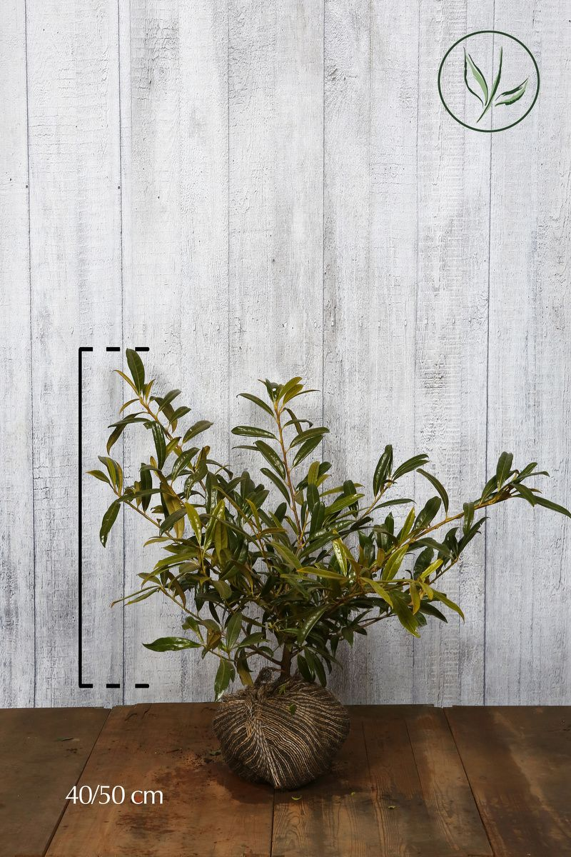 Lagerhägg 'Zabeliana' Klump 40-50 cm