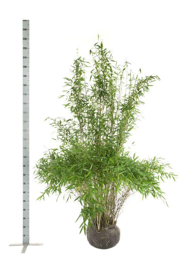 Bergbambu 'Jumbo' Klump 175-200 cm