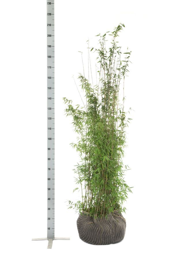 Glansbambu 'Jiuzhaigou' Klump 150-175 cm