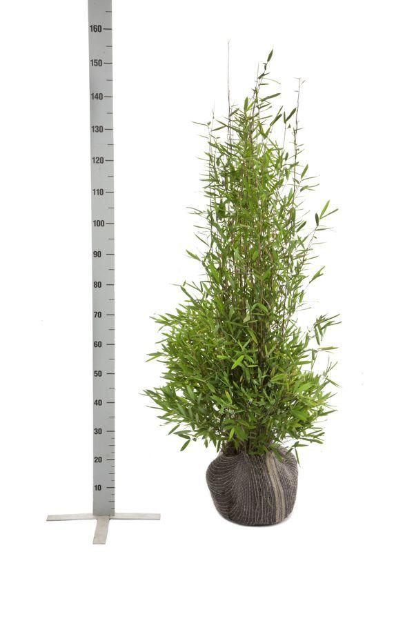 Glansbambu 'Nitida' Klump 100-125 cm
