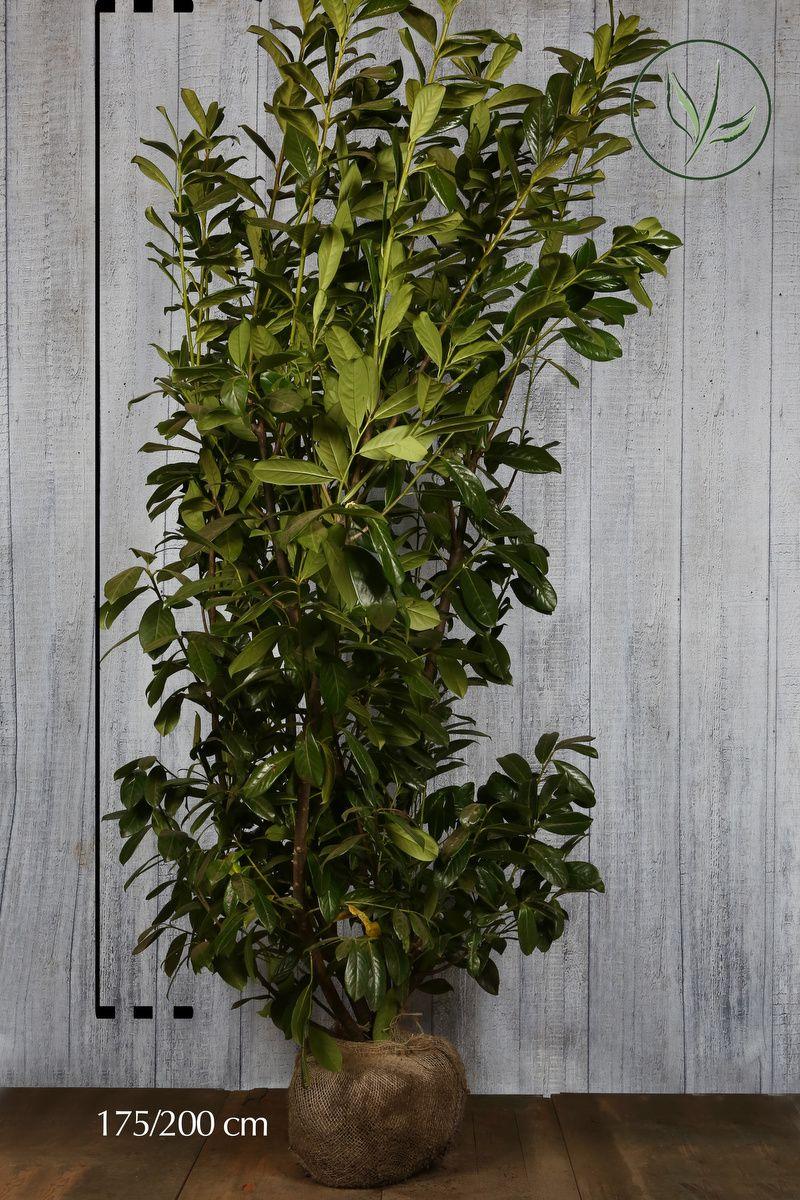 Lagerhägg 'Novita' Klump 175-200 cm Extra kvalitet