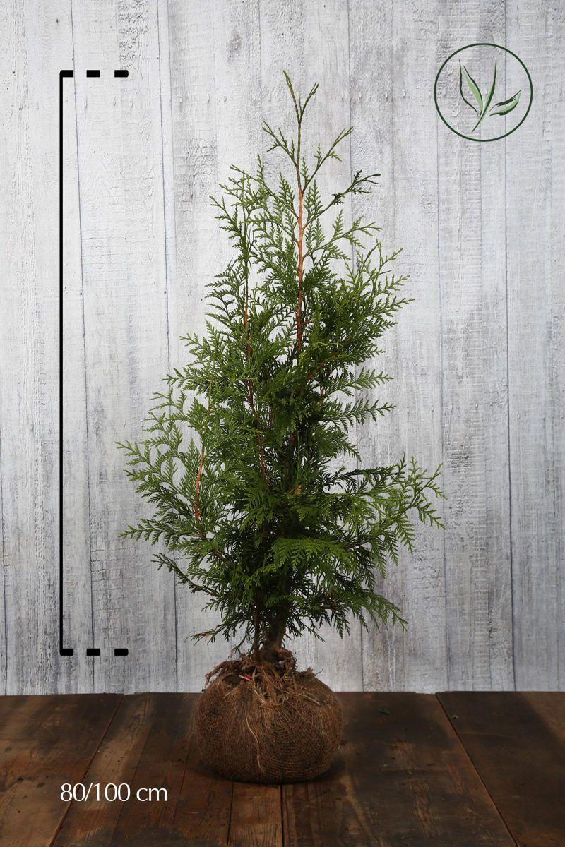 Thuja 'Excelsa' Klump 80-100 cm