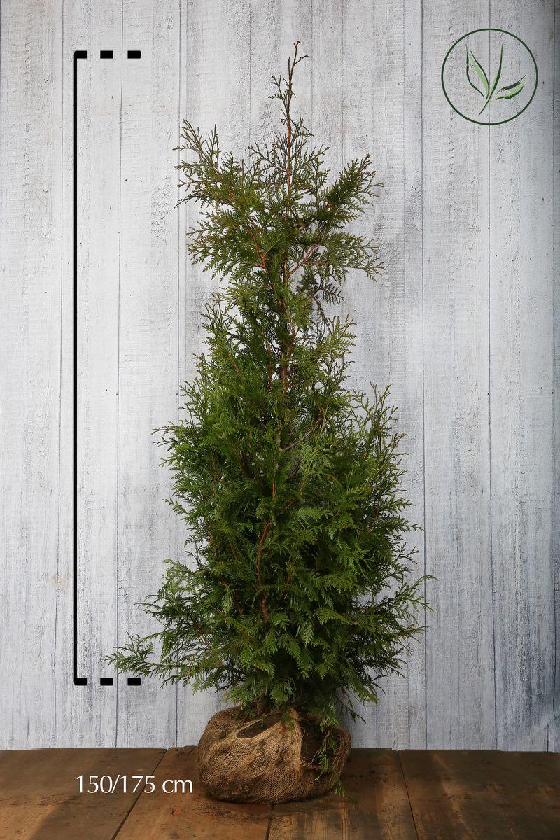 Thuja 'Excelsa' Klump 150-175 cm