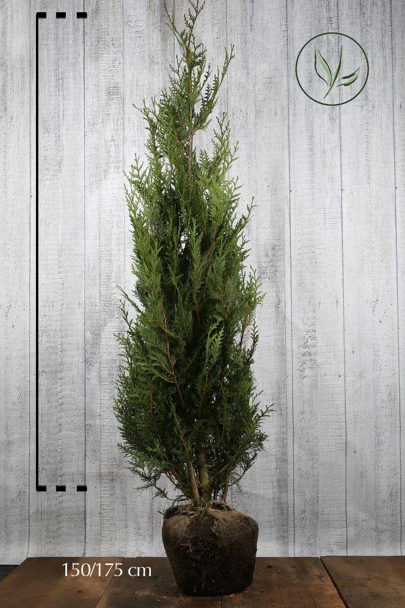 Thuja 'Atrovirens' Klump 150-175 cm