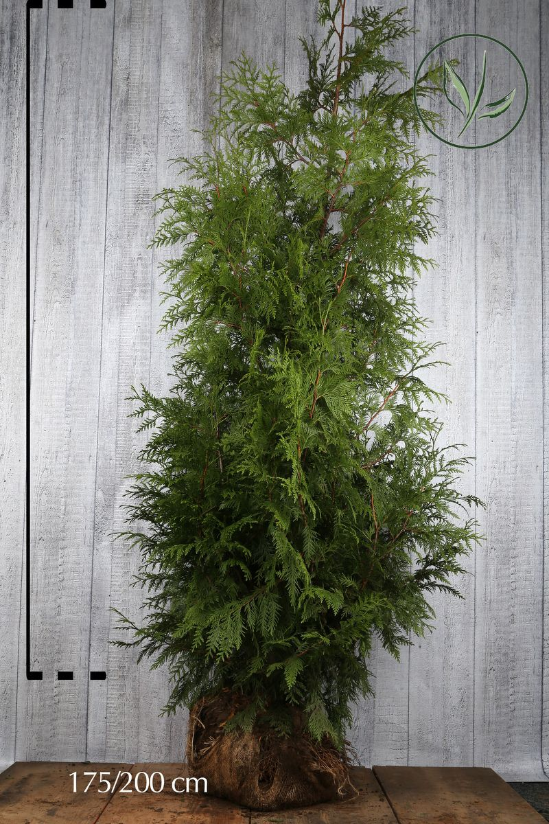 Thuja 'Atrovirens' Klump 175-200 cm