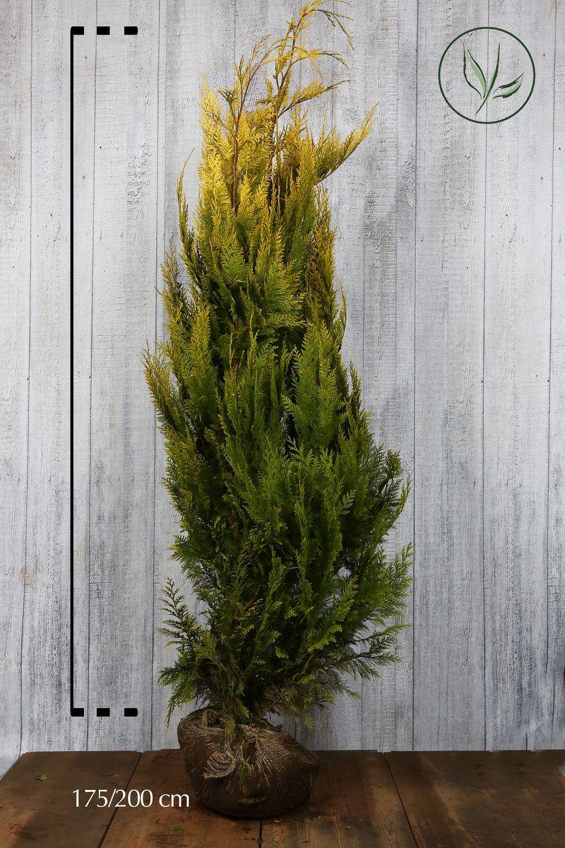 Ädelcypress 'Ivonne' Klump 175-200 cm
