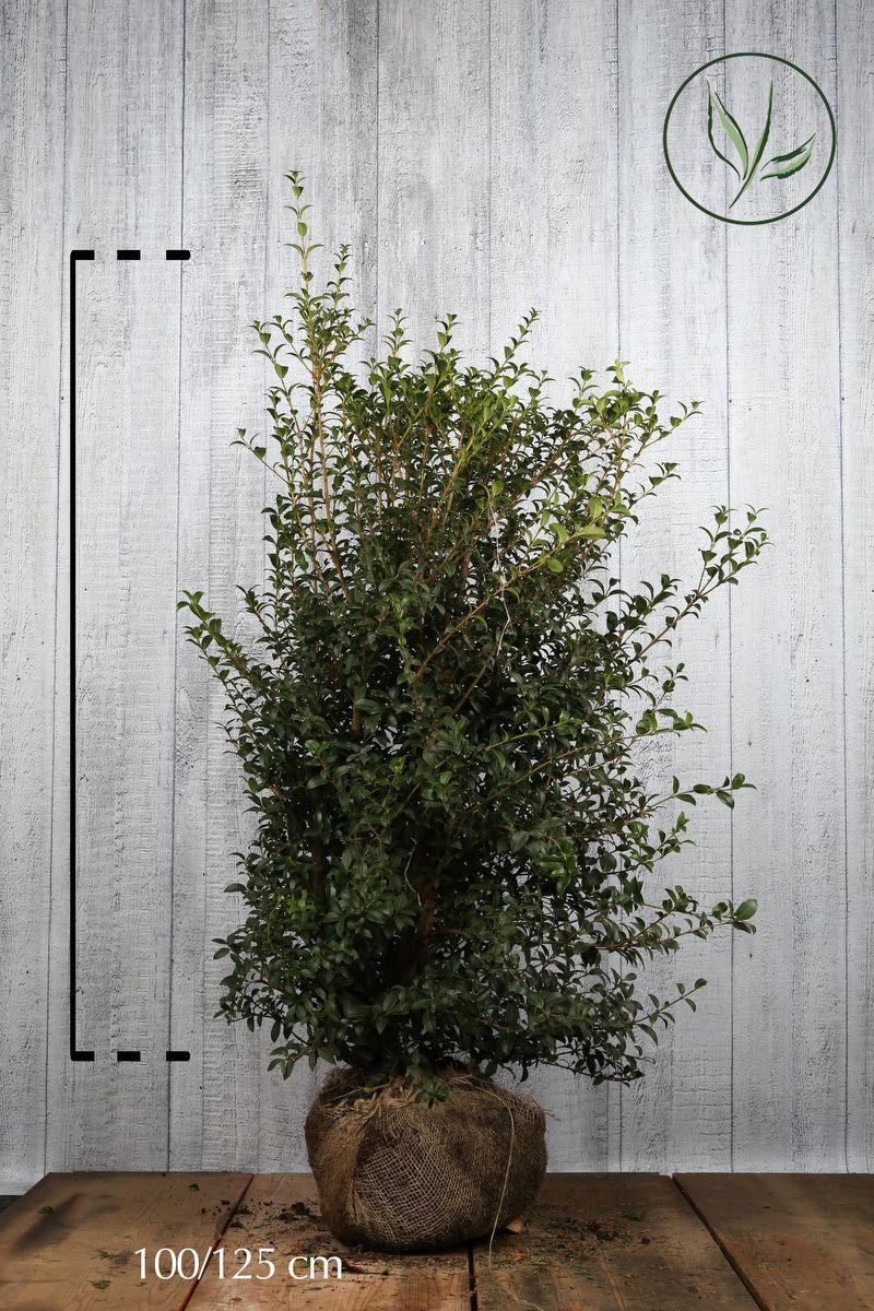 Osmanthus 'burkwoodii' Klump 100-125 cm