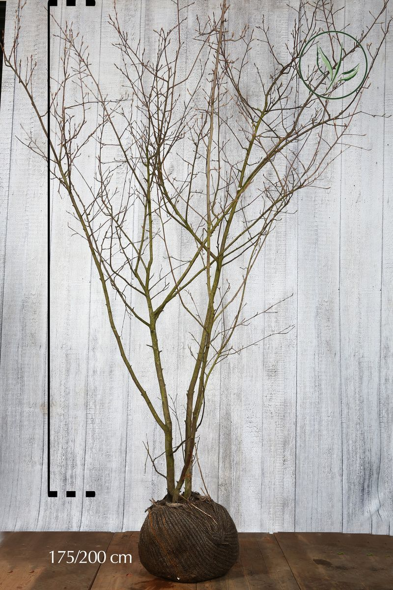 Prakthäggmispel Klump 175-200 cm