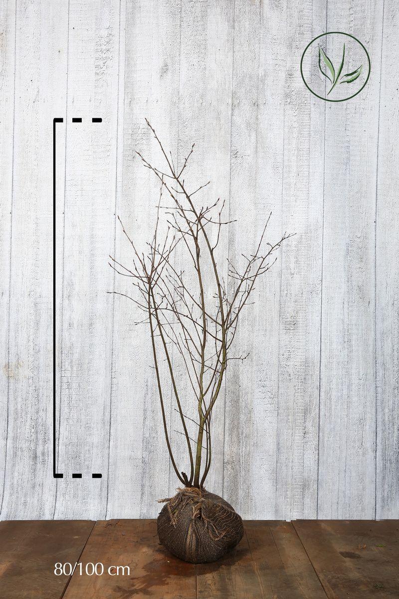 Prakthäggmispel Klump 80-100 cm