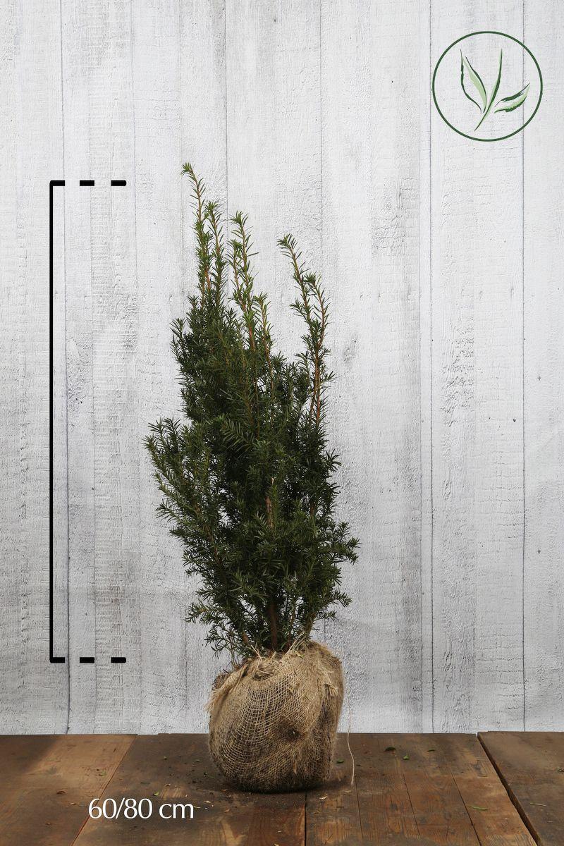 Hybrididegran 'Hicksii' Klump 60-80 cm