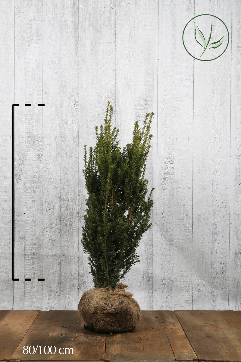 Hybrididegran 'Hillii' Klump 80-100 cm