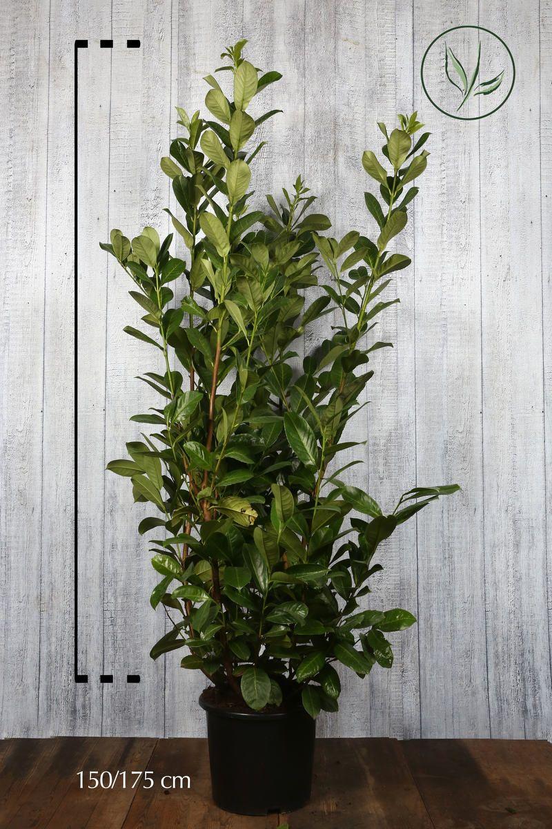 Lagerhägg 'Rotundifolia' Kruka 150-175 cm