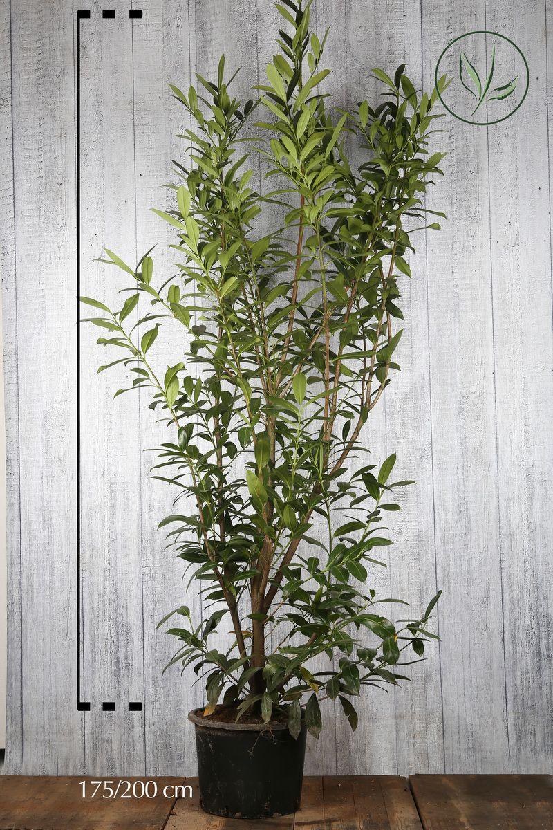 Lagerhägg 'Caucasica' Kruka 175-200 cm Extra kvalitet
