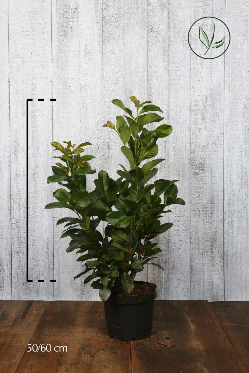 Lagerhägg 'Etna' Kruka 50-60 cm