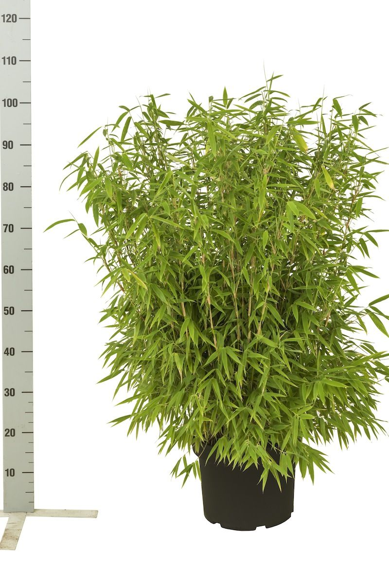 Bergbambu 'Jumbo' Kruka 60-80 cm