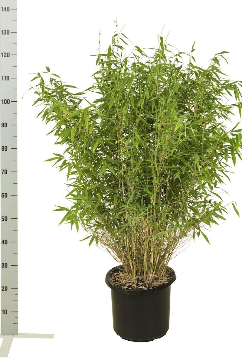 Bergbambu 'Jumbo' Kruka 80-100 cm