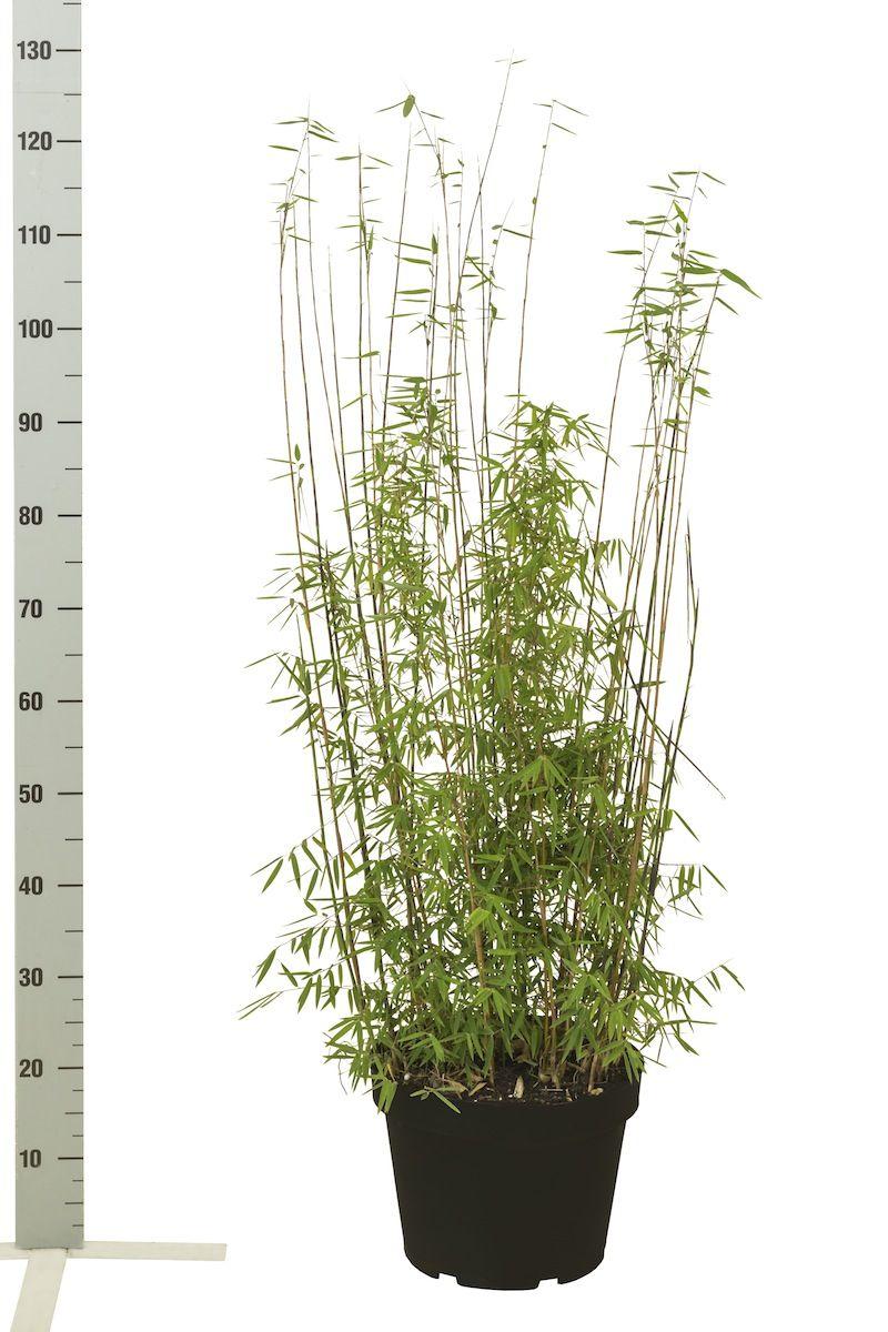 Glansbambu 'Jiuzhaigou' Kruka 80-100 cm