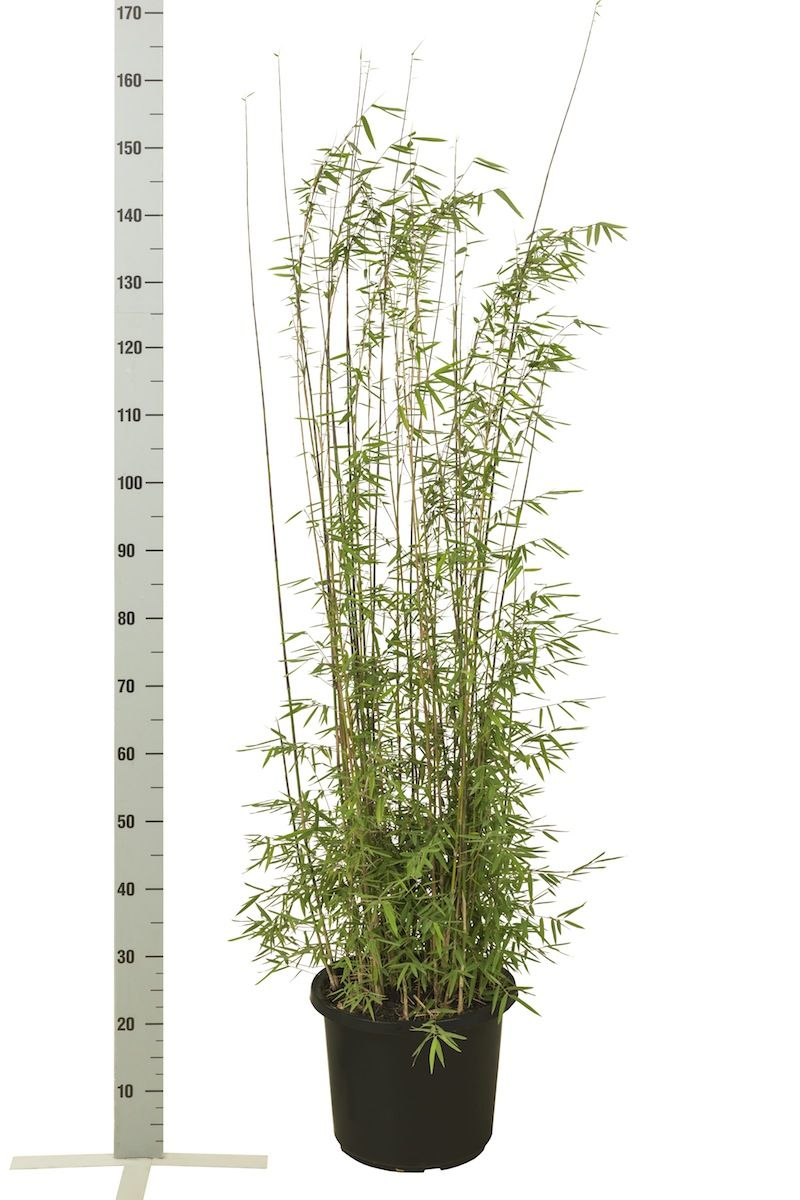 Glansbambu 'Jiuzhaigou' Kruka 100-125 cm