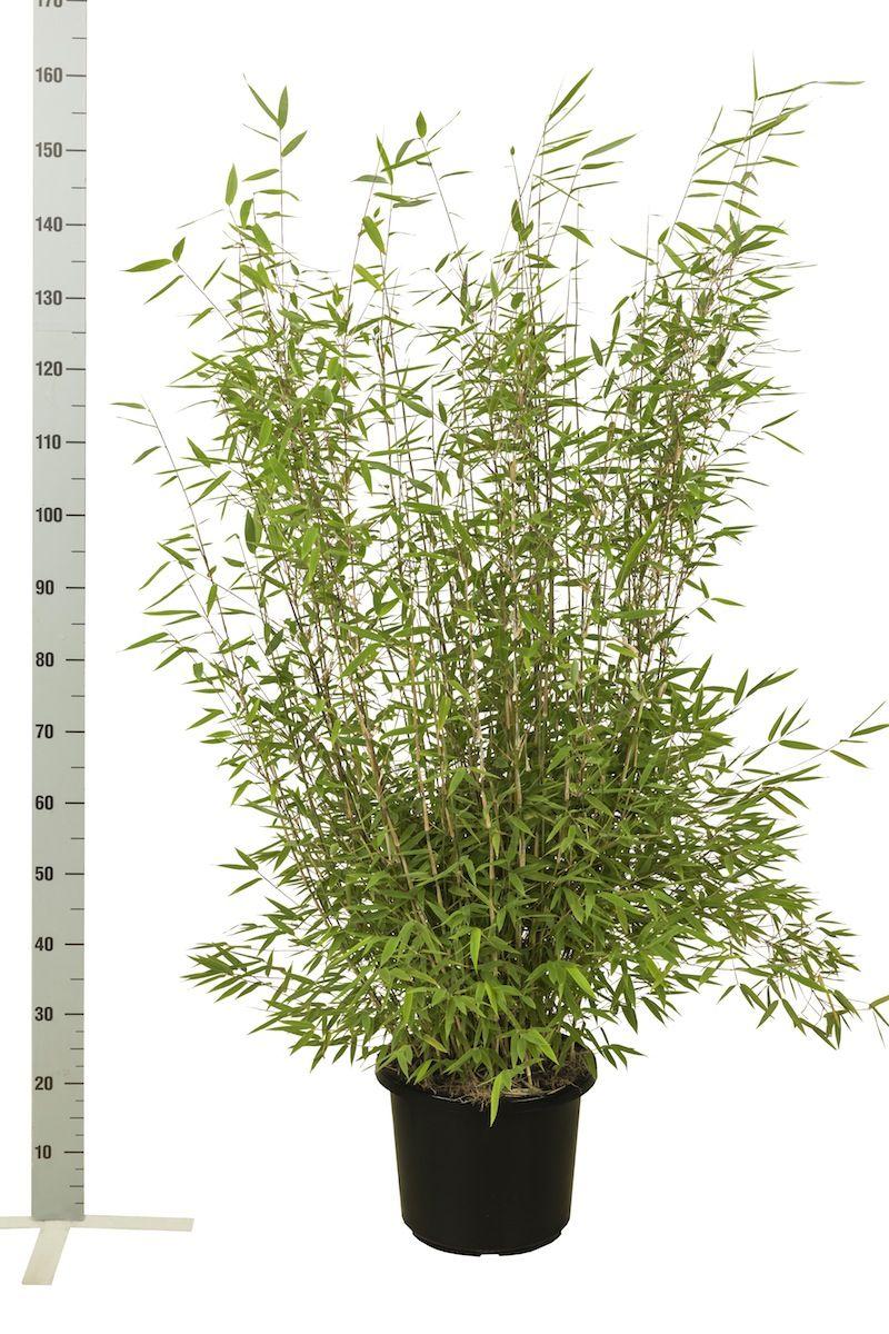Glansbambu 'Nitida' Kruka 100-125 cm