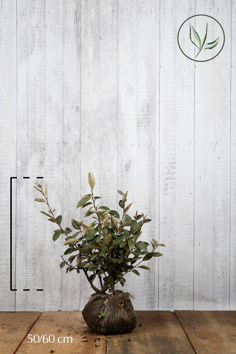 Silverbuske Klump 50-60 cm