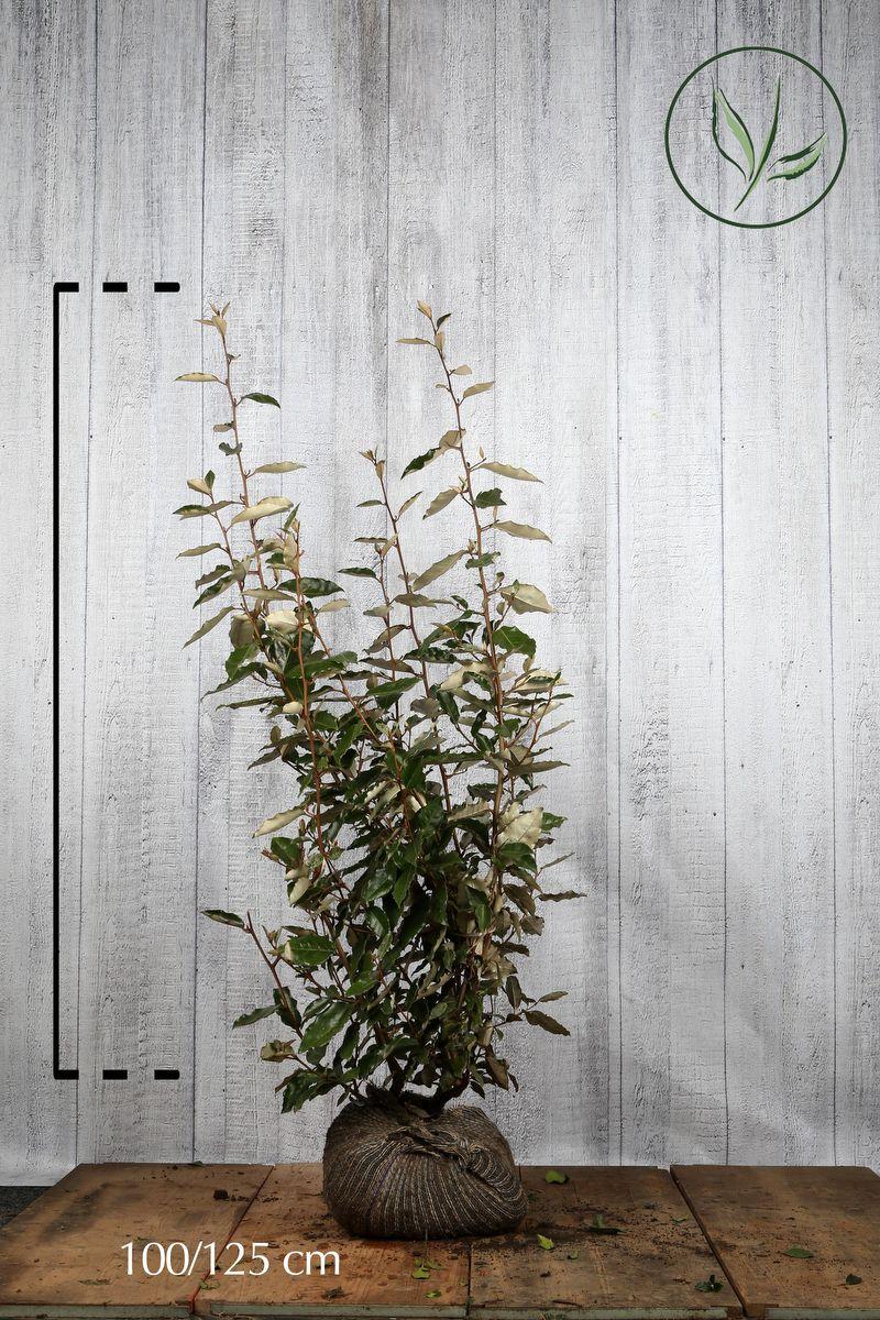 Silverbuske Klump 100-125 cm