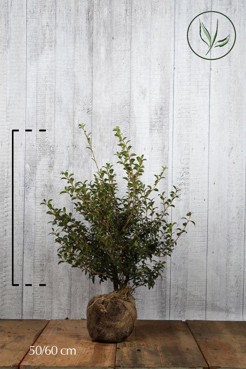 Osmanthus 'burkwoodii' Klump 50-60 cm