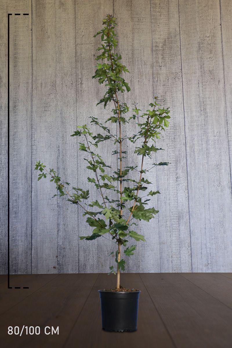 Naverlönn Kruka 80-100 cm
