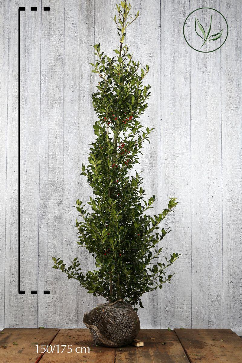 Järnek 'Heckenfee' Klump 150-175 cm