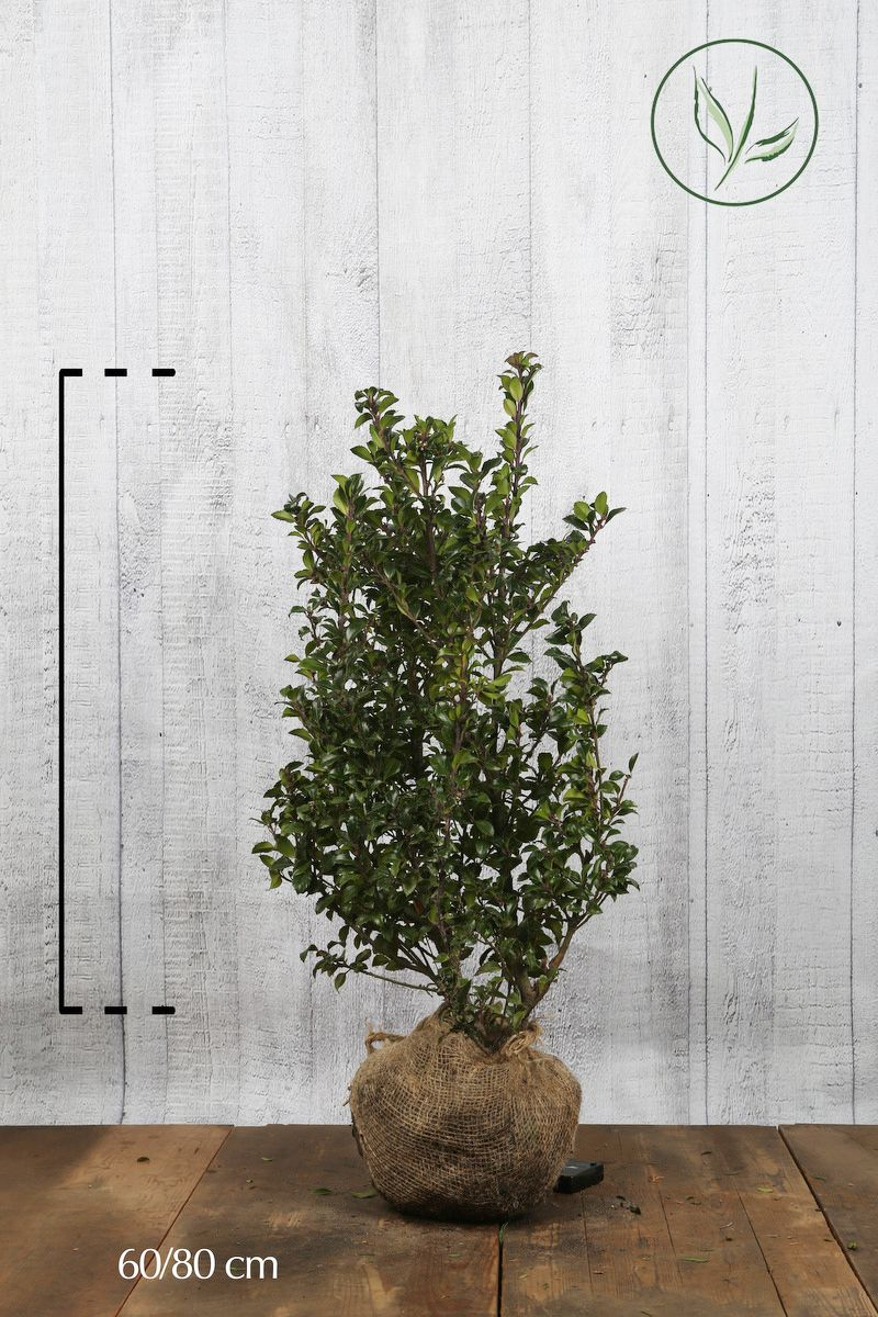 Järnek 'Heckenstar' Klump 60-80 cm