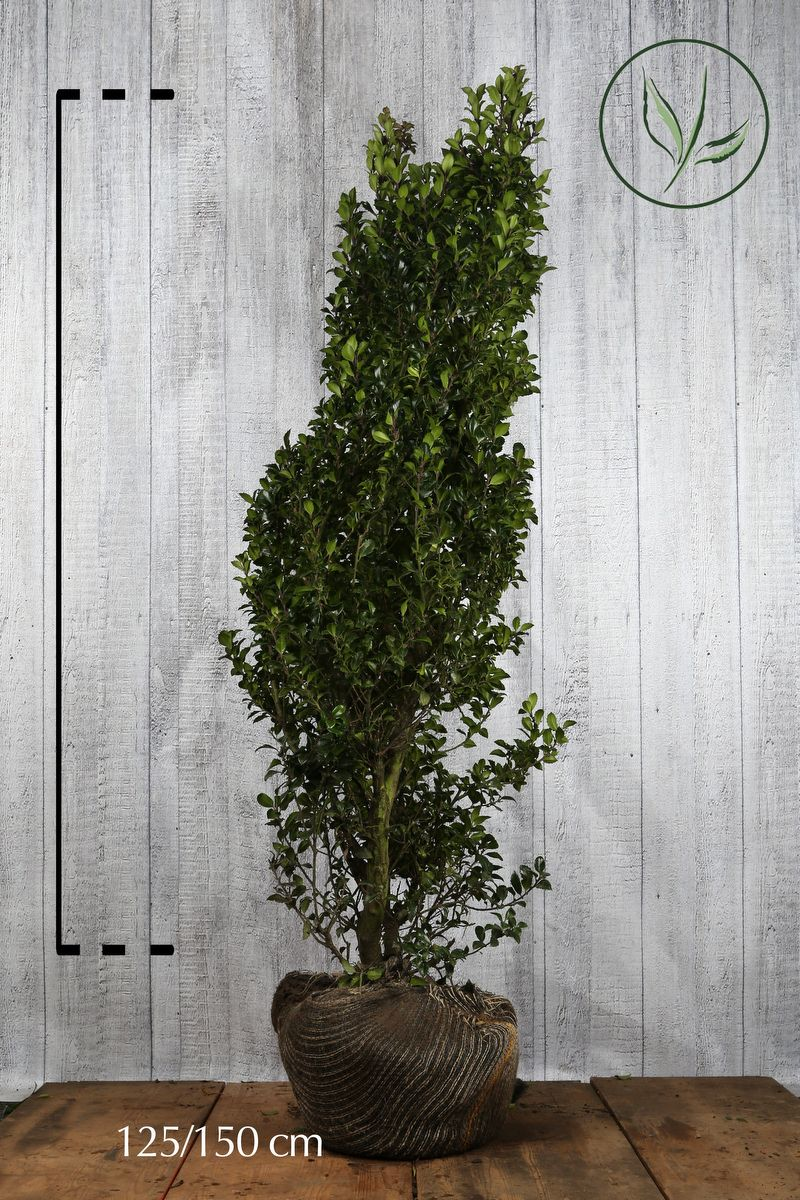 Järnek 'Heckenstar' Klump 125-150 cm