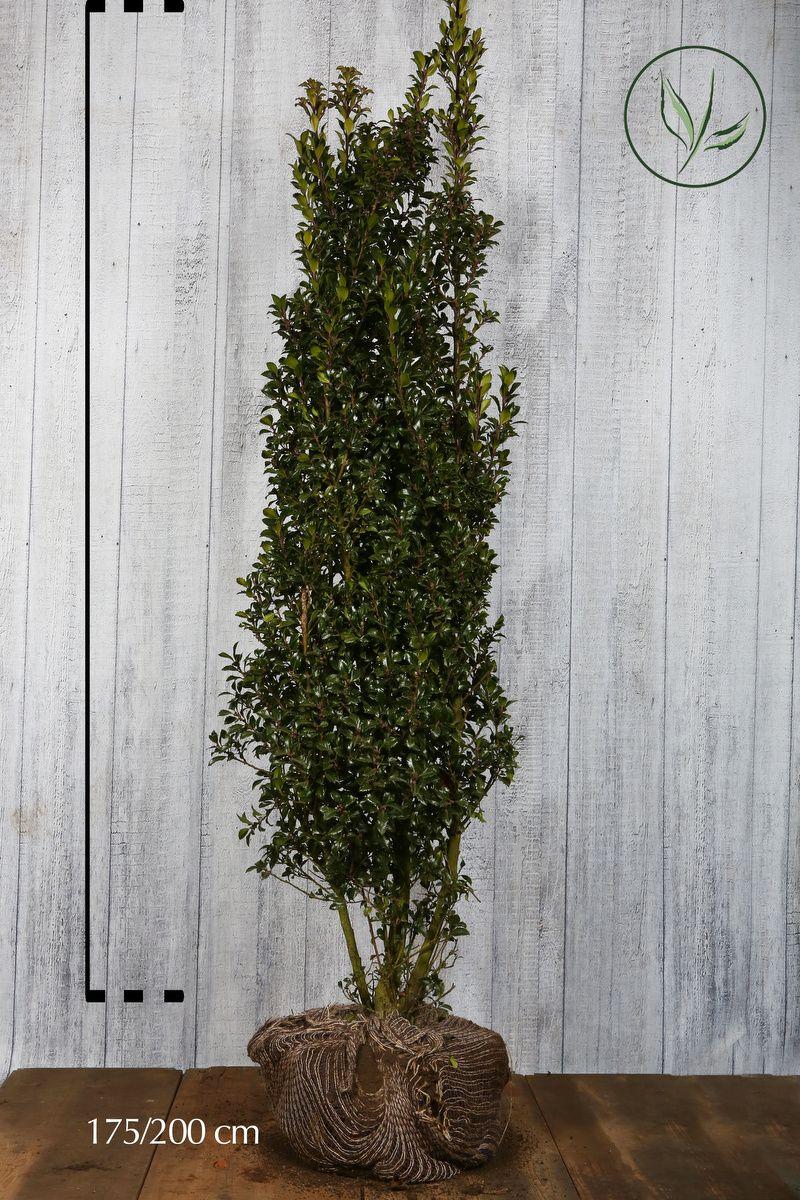 Järnek 'Heckenstar' Klump 175-200 cm