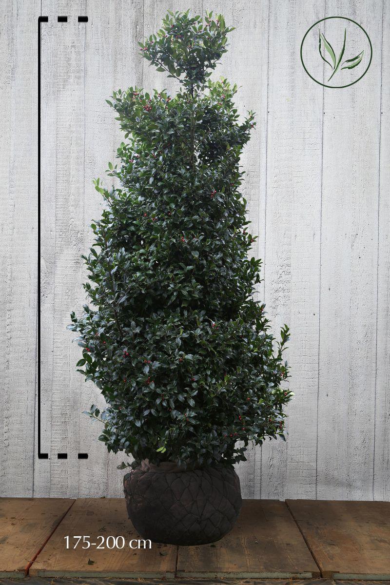 Järnek 'Blue Maid' Klump 175-200 cm Extra kvalitet