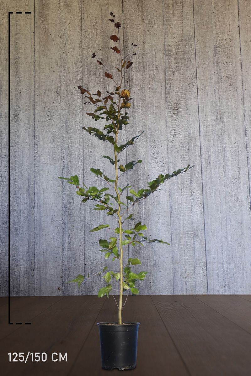 Blodbok Kruka 125-150 cm Extra kvalitet