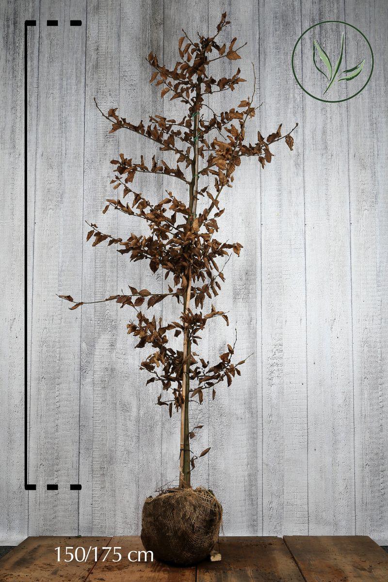 Avenbok Klump 150-175 cm Extra kvalitet