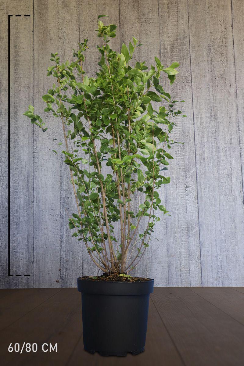 Gulbrokig bredbladsliguster Kruka 60-80 cm Extra kvalitet