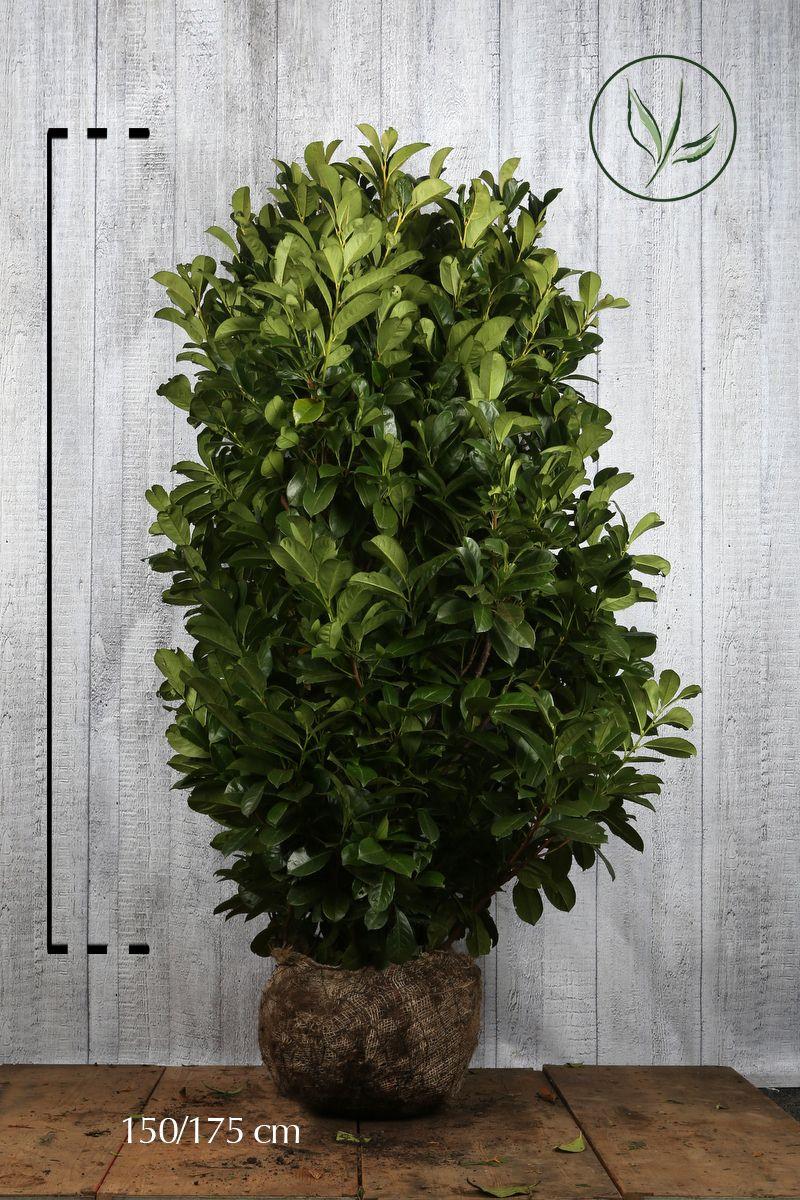 Lagerhägg 'Etna' Klump 140-160 cm Extra kvalitet