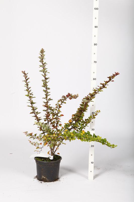 Häckberberis Kruka 30-40 cm