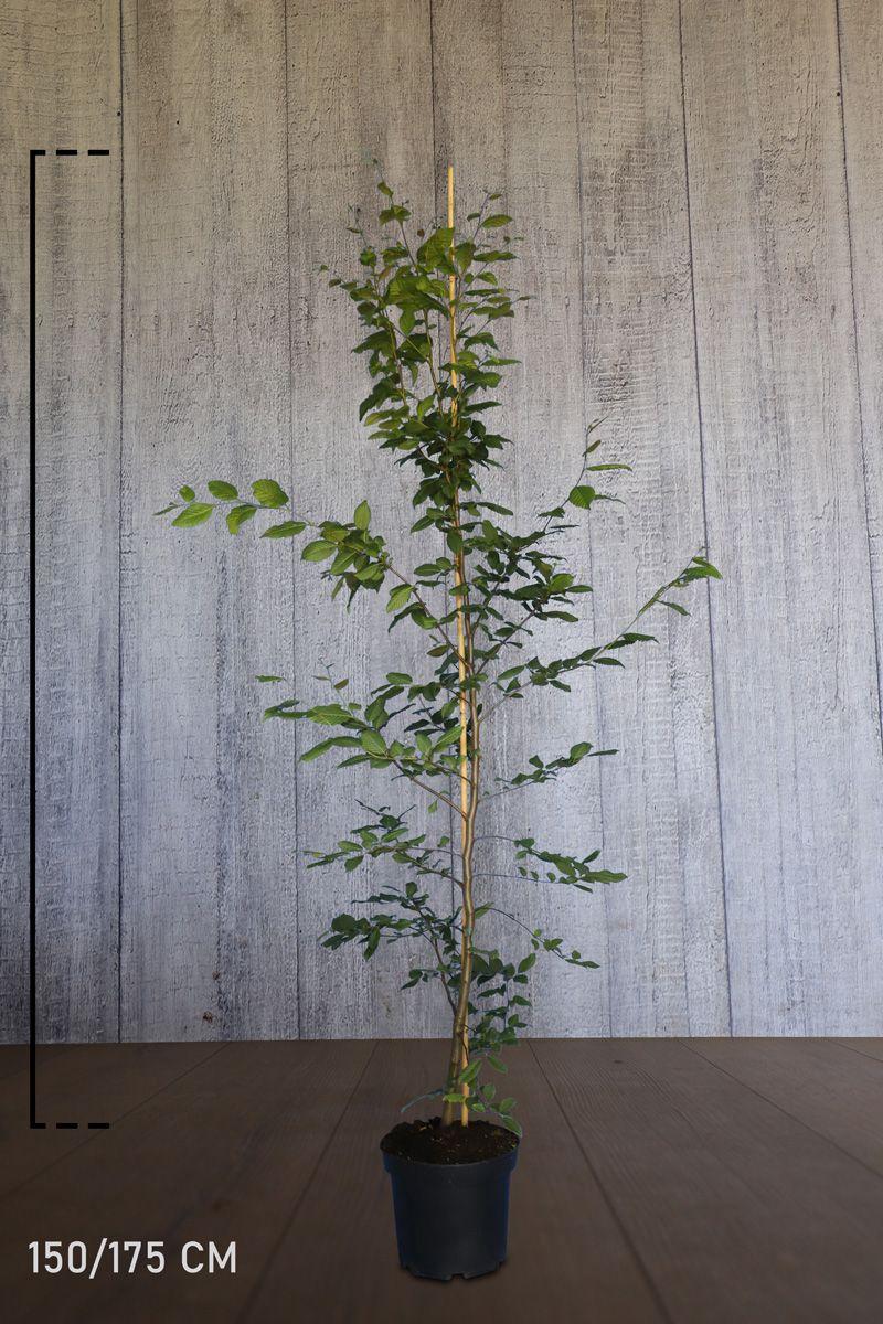 Avenbok Kruka 150-175 cm Extra kvalitet