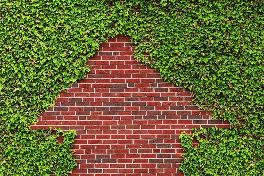 Murgröna Marktäckare i växtmattor 38 x 57 cm Premiumkvalitet