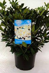 Rhododendron 'Madame Masson' Kruka 60-70 cm Extra kvalitet