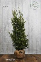 Japansk järnek 'Dark Green' ® Klump 100-125 cm