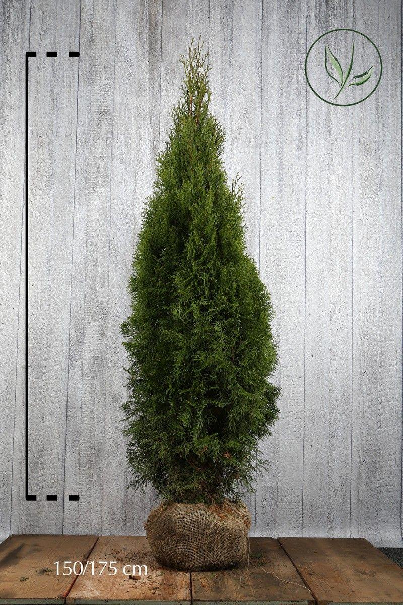 Thuja 'Smaragd' Klump 150-175 cm Extra kvalitet