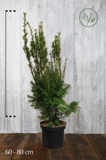 Hybrididegran 'Hillii' Kruka 50-60 cm