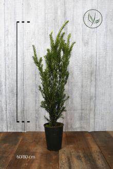 Hybrididegran 'Hillii' Kruka 60-80 cm