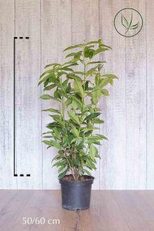 Lagerhägg 'Genolia'® Kruka 50-60 cm