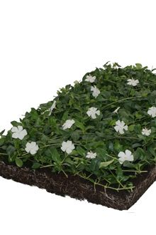 Vinca minor 'Alba' - växtmattor