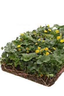 COVERGREEN® Waldsteinia ternata växtmattor