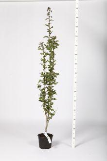 Trubbhagtorn Kruka 60-100 cm