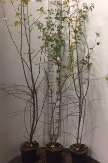 Trubbhagtorn Kruka 150-175 cm